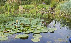 Wenn Seerosen nicht blühen -  Nur wenn sich Seerosen wohl fühlen, verzaubern sie den Teich mit ihrer Blütenpracht.