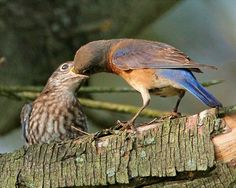 Bluebird Society of PA's Website... Female feeding fledgling