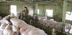 Xử lý nước thải chăn nuôi heo tại TP Hồ Chí Minhhttp://bunvisinh.com/xu-ly-nuoc-thai-chan-nuoi-heo-tai-tp-ho-chi-minh.html
