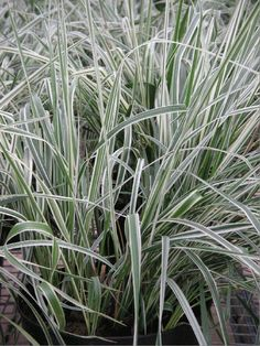 Plants - Grasses