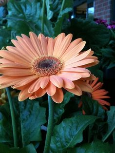 http://www.examiner.com/slideshow/gerbera-daisies?cid=dflo-pinterest-41312-GerberDaisies2