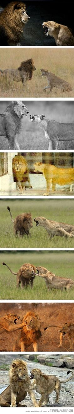 Whoever said the lion was the King of the Jungle never met his wife.  Behind every successful man is a strong woman.   The lioness hunts for the pride but the lion does make sure to protect them
