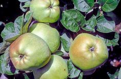( NFC): Catshead Culinary apple Malus domestica Borkh. Originated in England and known in the 1600s. A distinctly angular and somewhat ugly apple. Fruits are coarse-textured and rather dry with a subacid flavour.