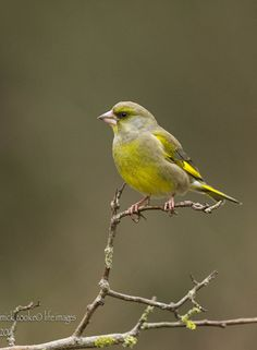 Greenfinch (Carduelis chloris) One female in the garden today first one I have seen for years. Most Beautiful Birds, Pretty Birds, Backyard Birds, Garden Birds, Greenfinch, World Birds, Different Birds, British Wildlife, Wild Creatures