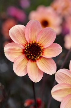New for Dahlia HS Kiss New for Dahlias in the HS (Happy Single) series are easy and reli Exotic Flowers, Small Flowers, Love Flowers, Beautiful Flowers, Single Flowers, Orange Flowers, Cottage Garden Design, Cottage Garden Plants, Cottage Gardens