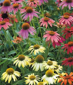 Flowery foundation garden: A compact spot between the driveway and front door packs a punch with help from these easy-care, long-blooming flowers.