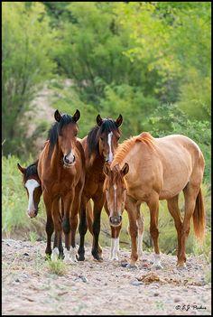 Arizona Wild Horses, Mustangs.  (Photo by E.J. Peiker)