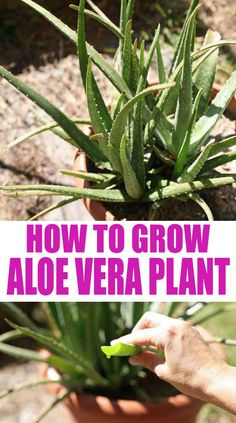 How to grow aloe vera, care for your plant, and harvest and use it. Everyone should be growing aloe vera in their house or garden! It's so easy to take care of this plant and it has so many uses. Let's learn how to grow aloe vera. Gardening For Beginners, Gardening Tips, Vegetable Gardening, Container Gardening, Growing Aloe Vera, Best Nutrition Food, Proper Nutrition, Nutrition Products, Nutrition Articles