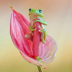 cute frog on a beautiful flower :) Animals And Pets, Baby Animals, Funny Animals, Cute Animals, Nature Animals, Cute Creatures, Beautiful Creatures, Animals Beautiful, Beautiful Images