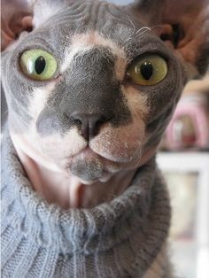 Sphynx with a sweater I Love Cats, Crazy Cats, Cute Cats, Funny Cats, Chat Rex Cornish, Chat Sphynx, Hairless Cats, Gato Munchkin, Sphinx Cat