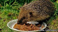 Hedgehog eating cat food, Hedgehogs feed on meat - not bread and milk