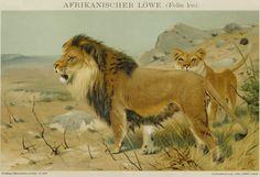 Matted Antique Lion Print C. 1896 German от AntiquePrintBoutique