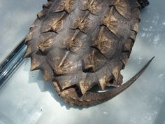 alligator snapping turtle - Google Search
