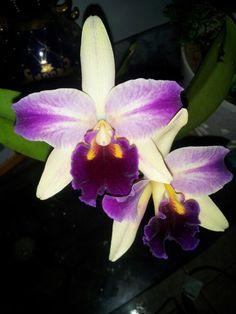 Precious orchids