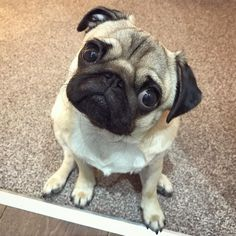 Friday... is that you?  #puglife