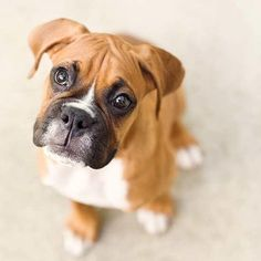 A little cuckoo in the best way. These are a few ways that parents of Boxer puppies might describe their pooches. Do you think a Boxer puppy is right for you? Brush up on your facts about Boxer puppies before you adopt! Boxer Puppies, Cute Puppies, Cute Dogs, Dogs And Puppies, Doggies, Boxer Breifs, Boxer And Baby, Boxer Love, Baby Dogs