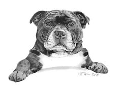 Pencil portrait Staffordshire Bull Terrier commissioned as a memorial to a beautiful Staffy