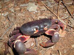 Black land crab in Cayman Islands