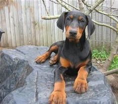 Doberman Pinscher puppy. Look at those paws!