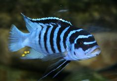 Metriaclima zebra Cichlid Aquarium, Ocean Aquarium, Cichlid Fish, Tropical Aquarium, Tropical Fish, Discus, Malawi Cichlids, African Cichlids, Underwater Creatures