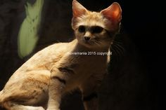 Shadow Cat wild life Animal Photo by moviemania on Etsy