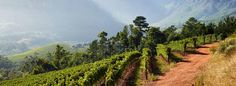South African grapes were saved from overcooking by a brief drop in the brutal heat levels.