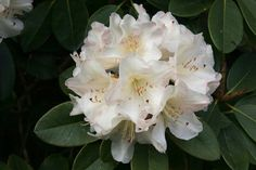 Thank you for taking a look at one of our several hundred Hybrid Rhododendrons we have for sale on Etsy and our website! At RhododendronsDirect.com, all we do is Rhododendrons!     Product Description    Bloom Color:  White    Bloom Season: Early Mid- Season    Plant Height(potential in 10 years): Five Feet    Hardy to:  -0      Container Size/Age:  Two Gallon Plant -  These rhododendrons are typically rooting into a two gallon container or have spent one year as a field grown plant. They…