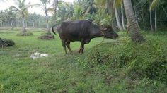 Punchakiri Padam at Trivandrum (Ganesh Homestays Kovalam)