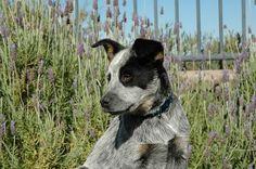 Tex the Australian Cattle Dog