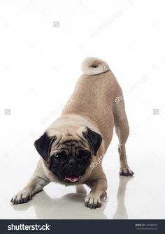 stock-photo-pug-dog-is-bowing-or-doing-a-playing-pose-145586659.jpg 1,125×1,600 pixels