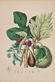 Elizabeth Twining, Bread Fruit Tribe, 1849, 1855. From Illustrations of the Natural Order of Plants.