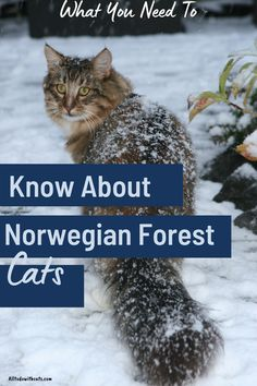 Discover all about the norwegian forest cat and if this breed suits your lifestyle. Includes personality traits, caring for your cat, and any health issues. Plus, lots more. #norwegianforestcat #catbreeds #longhaircatbreeds #norwegianforestcatfacts Long Hair Cat Breeds, Black Cat Breeds, Cute Cat Breeds, Kittens Cutest, Ragdoll Kittens, Funny Kittens, Bengal Cats, Kitty Cats, Orange Cats