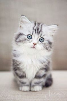 Look what I discovered > Cats And Kittens For Sale Brisbane #follow