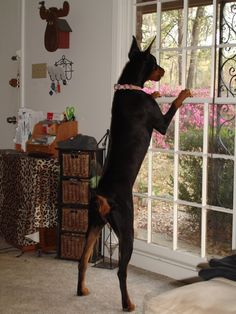 """best """"watch"""" dogs, they miss NOTHING!! #Doberman"""