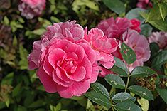 Click to view full-size photo of Morden Belle Rose (Rosa 'Morden Belle') at Salisbury Greenhouse and Landscaping