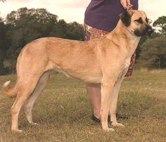 The History of the Anatolian Shepherd Dog states that it is a large, powerful livestock and family guardian whose origins date back for thousands of years.