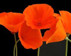 Poppy flower photograph by Robert Crum