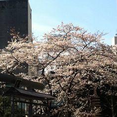 Sakura at Kompira Shrine