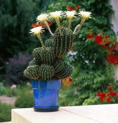 Fiche conseil cactus
