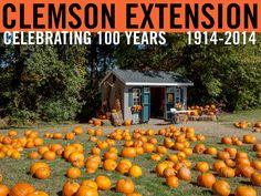 Pumpkin patch at Northside Elementary School in Seneca, SC. Photographer: Peter Tögel. #ClemsonExt100