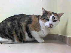 TO BE DESTROYED 6/6/14 ** SENIOR ALERT!! Kitana interacts with the Assessor, solicits attention, is easy to handle and tolerates all petting. This cat can go to a beginner home. ** Brooklyn Center  My name is KITANA. My Animal ID # is A1000028. I am a spayed female calico and white domestic sh. The shelter thinks I am about 10 YEARS old.  I came in the shelter as a STRAY on 05/16/2014 from NY 11210. I came in with Group/Litter #K14-177625.
