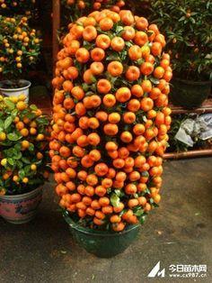 Acaba ne tür bir mandalina ağacı bu....