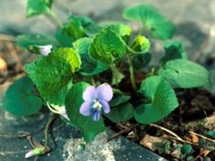 Rutgers NJ Ag Experiment Station - violets as a weed in lawns?!