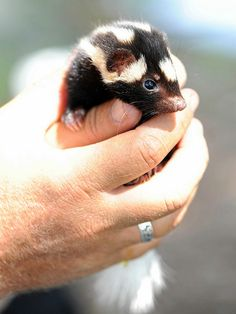 Spotted skunk--so cute!