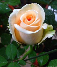 'Osiana ' Rose Photo