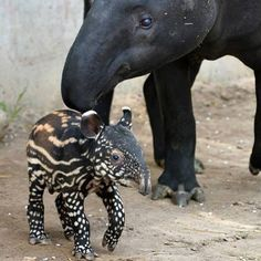 PetsLady's Pick: Cute Tapir Pic Of The Day  ... see more at PetsLady.com ... The FUN site for Animal Lovers