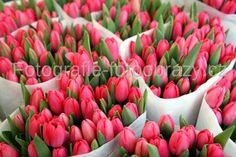 Tulipány z Rotterdamu...