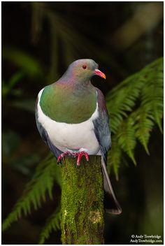 New Zealand Pigeon - Andy Trowbridge Bird Pictures, Pictures To Paint, Wood Pigeon, Nature Story, List Of Birds, Dove Bird, Kiwiana, Colorful Birds, Wild Birds