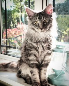 Crixus 6 month old silver tabby Maine coon kitten
