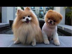 boo dog - before the cut hair Teddy Bear Puppies, Bear Puppy, Cute Puppies, Dogs And Puppies, Doggies, Fluffy Puppies, Baby Puppies, Baby Dogs, Teddy Bears
